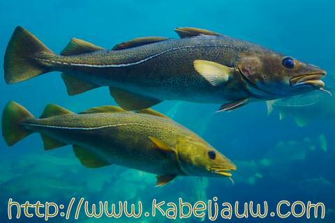 Groen-blauwe kabeljauw