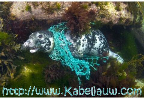 Zeehond verstrikt in visnet